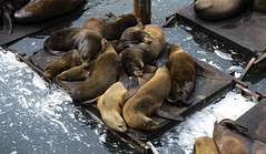 OMG!  Doggy Fish! (TCeMedia/Telecide) Tags: nature sea lions bay newport oregon wildlife water