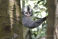 _DSC0437 flickr (T and F Bollen) Tags: nationalpark gunungleuser thomasleafmonkey monkey thomasleaf jungle indonesia sumatra gunung leuser