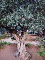336/365 Gethsemane (Árni Svanur Daníelsson) Tags: jerusalem garden gethsemane getsemane olive olivetree jesus maundythursday olives green tree bark brown apostles disciples