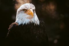 Eagle Portrait (michel1276) Tags: eagle baldeagle bird birdofprey birds vogel greifvogel animal tier weiskopfseeadler
