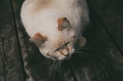 Queenie (buttercup caren) Tags: rollfilmweek filmphotography filmisnotdead 35mm expiredfilm pentaxme cat queenie