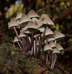 2018_10_0287 (petermit2) Tags: bonnetmushroom bonnet mycena mushroom fungus fungi pottericcarr potteric doncaster southyorkshire yorkshire yorkshirewildlifetrust wildlifetrust ywt