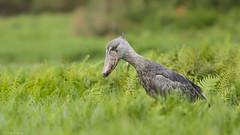 Shoebill in Uganda (4) - Bec-en-sabot (Bruno Conjeaud) Tags: shoebill becensabot ouganda uganda mabambaswamp entebbe