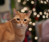 _DSC3589_1 (melsdad1) Tags: cat pet pest christmastree christmastreelights bokeh bokehballsdofsony a7iiitamron 2875mm