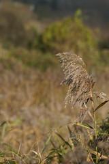 DSC07412 (simonbalk523) Tags: wild flower arundel sussex wetlands sony tamron nature