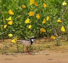 Pied Lapwing amongst the Puddle Party (N2NATURE PHOTOGRAPHY) Tags: pied lapwing mato grosso brasil pantanal butterflies flight yellow sandy beach