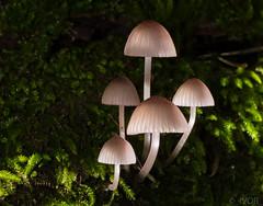 Fungi-9603 (_ Ivor_) Tags: sanborn sanbornpark sanborncountypark saratoga california 105mm 105mmmicro nikon105mmf28vr macro fungi d7200 nikond7200 r1c1 sbr200 su800