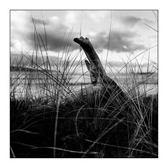 Driftwood (Wilco1954) Tags: corse france corsica beach leicaq seashore rushes mono seagrass blackandwhite driftwood saintflorent square