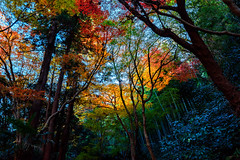 Autumn Leaves of Zuisen-ji Temple, Kamakura : 鎌倉・瑞泉寺の紅葉 (Dakiny) Tags: 2018 winter december japan kanagawa kamakura nikaido nikon d750 zuisenji temple