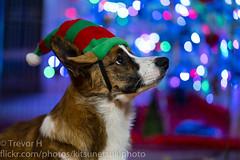 Christmas Corgi 3 (Kenjis9965) Tags: sonya7iii sony70200mmf28gm sony 70200mm f28 gm g master a7iii a7 iii a7m3 cardigan welsh corgi christmas holiday happy festive hat adorable sweet elf pupper puppy doggo doge corgo stumper stumps sel70200gm cute pet