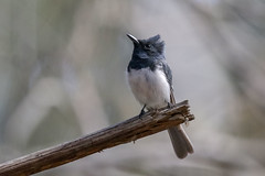 Leaden Flycatcher (Alan Gutsell) Tags: leadenflycatcher leaden flycatcher queenslandbirds queensland australian federation spit birds hotspots wildlife nature