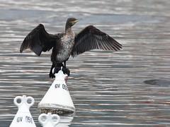 Cormorano (phalacrocorax carbo) (Paolo Bertini) Tags: cormorano great cormorant phalacrocorax carbo garda lake birding birdwatching
