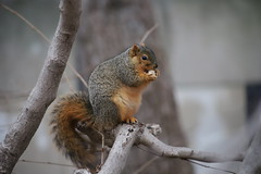 Fox Squirrels in Ann Arbor at the University of Michigan - January 2nd, 2019 (cseeman) Tags: gobluesquirrels squirrels foxsquirrels easternfoxsquirrels michiganfoxsquirrels universityofmichiganfoxsquirrels annarbor michigan animal campus universityofmichigan umsquirrels01022019 winter eating peanuts acorns januaryumsquirrel climber squirrelclimber