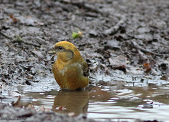 Male Crossbill (Georgiegirl2015) Tags: crossbill common birds dellalackwildlifephotography avian forestofdean gloucestershire parkend water wildlife winter puddle spruce canon countryside woodlands january2019 ef300mm 7dmkii