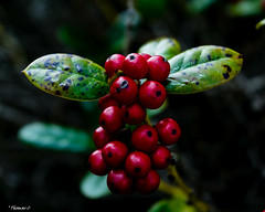 Red, Red, Red Berries (that_damn_duck) Tags: nikon nature leaves berries