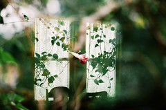 window grief (Mae Lynn.) Tags: doubleexposure flower window green nature summer bokeh film 35mm vines plants lace