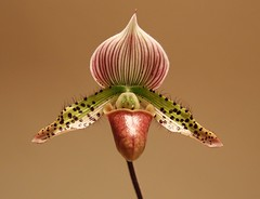 Frauenschuh (Hugo von Schreck) Tags: hugovonschreck frauenschuh macro makro blume blüte flower canoneos5dmarkiii tamronspaf2875mmf28xrdildasphericalifmacro