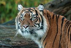 sumatran tiger Burgerszoo 094A2140 (j.a.kok) Tags: animal asia azie tijger tiger burgerszoo burgerzoo mammal zoogdier dier predator sumatraansetijger sumatrantiger sumatra pantheratigrissumatrae