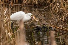 What a mouthfull! (ejwwest) Tags: blashford wildlife egrettaalba newforest hampshire ringwood egret hiwwt bird england unitedkingdom gb