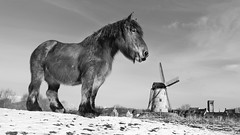 Damme Horse - B&W in a 16-9 size (Drummerdelight) Tags: gentlegiant horse low pov lowpov blackwhite damme
