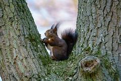 Nuss nagen (KaAuenwasser) Tags: eichhörnchen tier baum bäume natur holz ast äste fell nuss schwarznuss park moos wild
