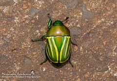 Macraspis festiva Burmeister, 1844 (Marquinhos Aventureiro) Tags: macraspis festiva besouro beetle scarabaeidae rutelinae wildlife vida selvagem natureza floresta brasil brazil hx400 marquinhos aventureiro marquinhosaventureiro