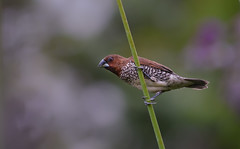 The scaly-breasted munia or spotted munia (Lonchura punctulata) (Robert-Ang) Tags: finch spicefinch lonchurapunctulata spottedmunia scalybreastedmunia animalplanet nature wildlife animal singapore