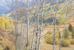 Aspens in Open Shade (Charlotte Hamilton Gibb) Tags: colorado fallcolor aspens autumn trees shade intimatelandscape landscape