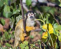Squirrel monkey in the vegetation (Tambako the Jaguar) Tags: squirrelmonkey monkey ape primate small cute yellow gray portrait climbing tree vegetation leaves plants sunny basel zoo zolli switzerland nikon d5