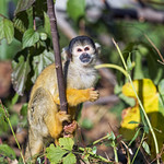 Squirrel monkey in the vegetation thumbnail