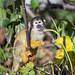 Squirrel monkey in the vegetation