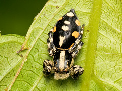 Springspinne (Eerika Schulz) Tags: springspinne spinne spider ecuador puyo eerika schulz