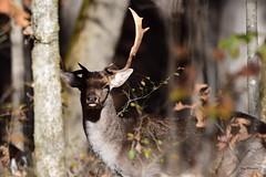 Deer-Fallow Buck_0108 (2) (Porch Dog) Tags: 2018 garywhittington nikond750 nikkor200500mm outdoors wildlife nature landbetweenthelakes betweentheriverskentucky fallow buck male antlers rack