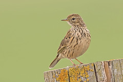 Meadow Pipit (drbut) Tags: meadowpipit anthuspratensis grass trees hedges avian wildlife nature canonef500f4lisusm