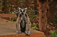 IMG_2845  Ring-tailed lemur (Lemur catta), Berenty reserve, Madagascar (Kalina1966) Tags: madagascar berenty animals lemur coth5 specanimal specanimalphotooftheday ngc npc