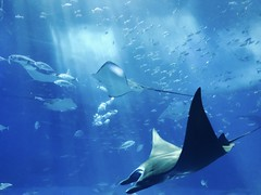 gray fish 889929 (imagesman) Tags: animals aquarium aquatic deep fish marinelife mobilechallenge stingray swimming underwater water wildlife
