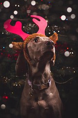 358/365 - Colin the Reindeer (Forty-9) Tags: canon eos60d eflens ef2470mmf28liiusm lightroom tomoskay forty9 studio strobist strobism flash yongnuo yongnuospeedliteyn560iv photr softbox project365 365 2018 3652018 project3652018 day358 358365 24thdecember2018 24122018 december monday photoaday portrait dog pet weimeraner dogphotography antlers christmas reindeer colin