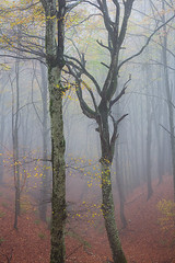II (Claudio / www.claudiocoppari.com) Tags: trees autumn faggi alberi bosco nebbia fog atmosfera mood