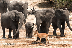A busy day at the river! (Jambo53 (very busy)) Tags: elephant antilope olifant chobe river rivier botswana copyrightrobertkok nikond700 600mmf4 excitement impala