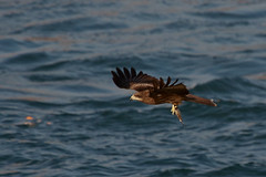 IMG_1752-1 (Mike_li) Tags: catchingfish black kite bird