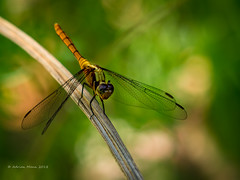 Dragon Fly-1214345 (Life is so Short) Tags: dragonfly fauna