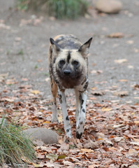 G08A4876.jpg (Mark Dumont) Tags: african cincinnati dog dumont mammal mark painted zoo
