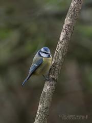 seen from the hide at Woods Mill (Nanooki) Tags: birds bluetit nikdefine ©suelambertlrpscpagb woodsmill sussextrustfornature week18 bird tree