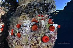 Tomates de mar (Xavier Mas Ferrá) Tags: actinia actiniaequina tomatedemar cnidario underwater mediterraneansea eivissa ibiza fauna dive diving red