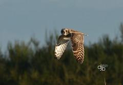 DB8_0826 (DouglasJBrown) Tags: shortearedowl owl djbphotocom nature nikonafsnikkor300mmf28gedvrii birdsinbc flight birdsinflight