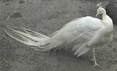 _SAM2966 (maddoctorartist) Tags: birds worldofbirds southafrica houtbay jackasspenguin goldenpheasant oriole starling peacock peahen ducks ibis himalayanmonal parrot macaw pigeons