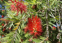 Bottle brush in a Curtin St (spelio) Tags: native flower blossoms canberra act australia