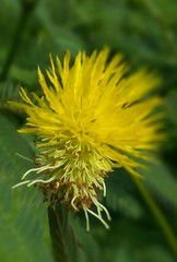 Yellow Mimosa flower (kat_chin_2000) Tags: mimosas yellowflowers yellowmimosa weeds thornyweeds nature wildgrass