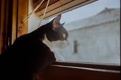 Special Agent (Lentejas Puag) Tags: 35mm film filmisnotdead 35mmfilm cat window portrait granada andalucía spain nikonf70 analog photography vintage camera