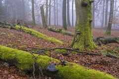20181201_katzenkopf_0343 (doerrebachtaler) Tags: katzenkopf soonwald naturreservat buche buchenwald baumpilz nebel hunsrück seibersbach schanzerkopf hochsteinchen